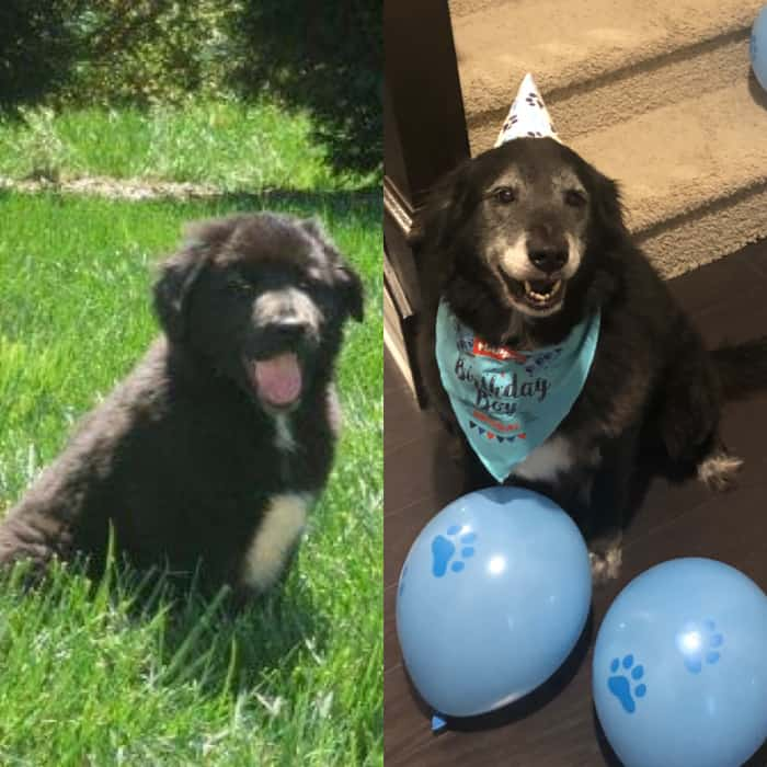 Bentley as a puppy and on his tenth birthday
